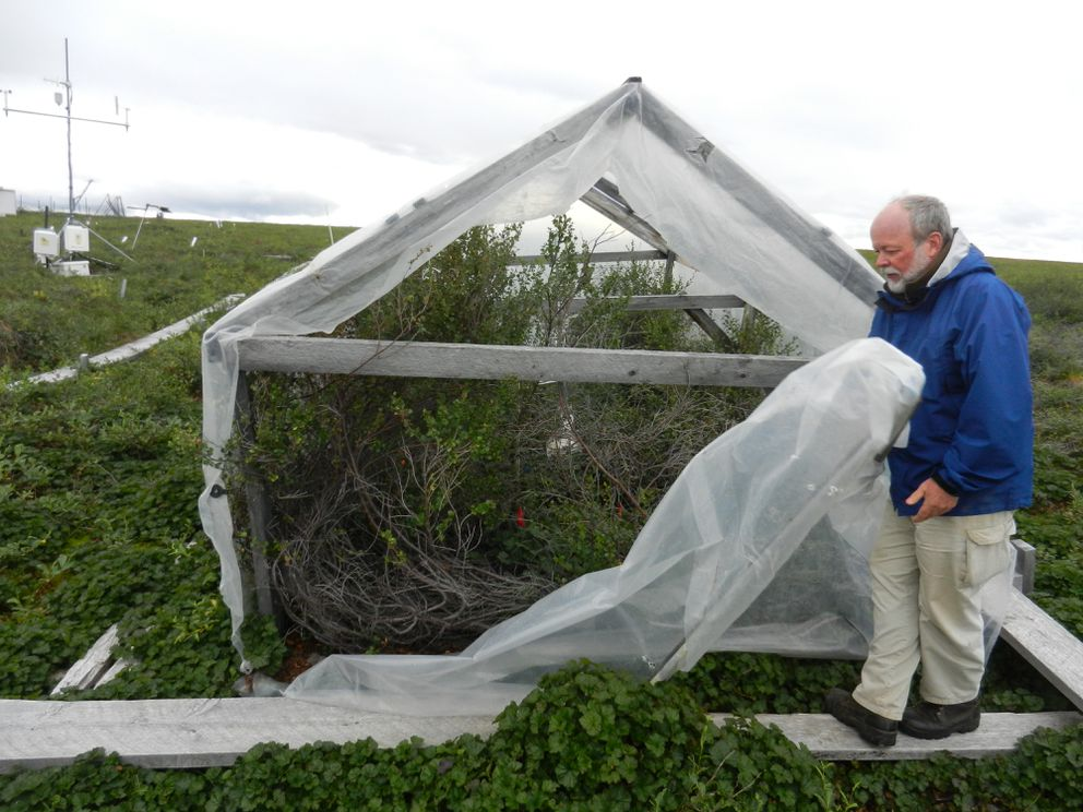 Ed Rastetter unveils a decades-old plot of tundra treated with high doses of fertilizer. These types of experiments can help scientists understand how the tundra may react to climate change. (Kelsey Lindsey / Alaska Dispatch News)