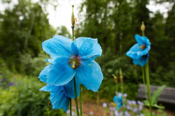 A blue poppy, Meconopsis 'Lingholm' blooms at the Alaska Botanical Garden Tuesday, July 10, 2018. The garden has a variety of blue poppies, many of which are in bloom this month. (Loren Holmes / ADN)