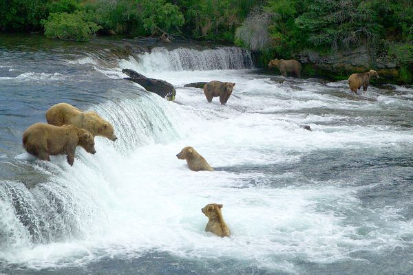 Brown bears fishing for salmon at Brooks Falls in Katmai National park.