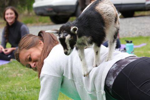 Goat yoga class hosted by the Yoga Yurt at the Liberty Alaskan Goat Farms in Soldotna on Saturday, June 23, 2018. (Photo by Steve Meyer)