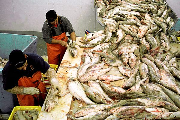 Workers at Kodiak's Island Seafoods, in Kodiak, hand-fillet Pacific cod Sunday, Jan. 19, 2002, delivered to the seafood processing plant during a commercial pot cod fishery opening. The pot cod fishery, which opened early this winter, is expected to continue through February. The commercial trawl fishery for cod opens Monday, Jan. 21, 2002, but the fleet remains tied up waiting for a price settlement. (AP Photo/ Marion Owen)