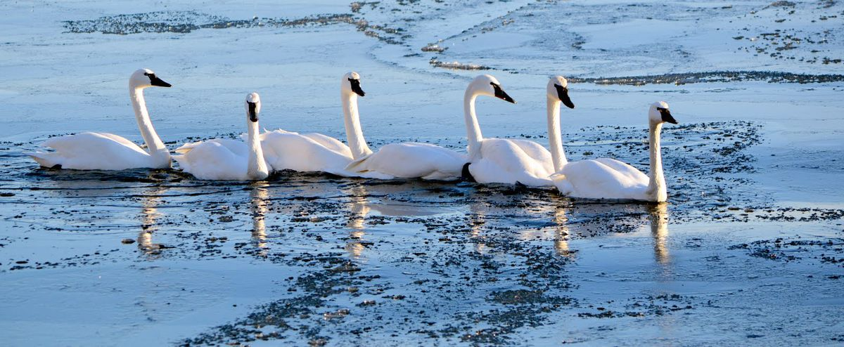 These tundra swans live in northern Alaska but spend winters on the Chesapeake Bay, some 4,200 miles away. (Ann Cameron Siegal)
