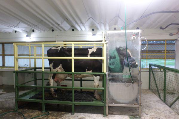 Scientists measure a cow's respiration at a lab in Toluca, Mexico. (Octavio Castelán-Ortega)