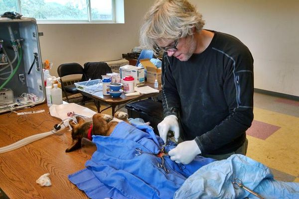 Tim Hunt, a Michigan veterinarian, performs a procedure in the police station at Kwethluk. Hunt volunteers with a program that has spayed and neutered more than 250 dogs in at least 14 Yukon-Kuskokwim Delta villages since 2013.