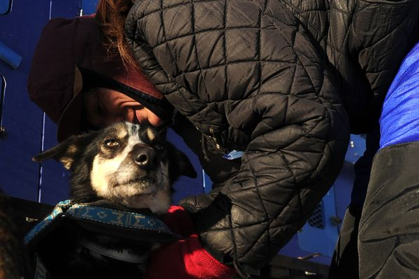 Karin Hendrickson puts harnesses on her sled dogs before the start of the 2017 Iditarod Trail Sled Dog Race in Fairbanks, Alaska on Monday, March 6, 2017. (Bob Hallinen / Alaska Dispatch News)