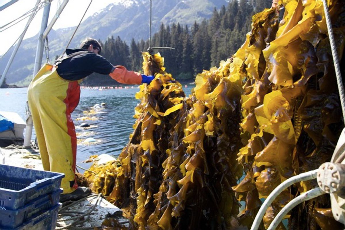 Sugar kelp grows on a long line near Homer in the summer of 2014. (Beau Perry / Blue Evolution)