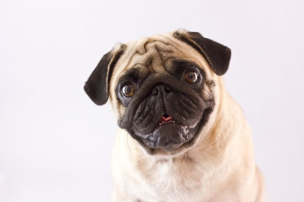 Sitting dog pug with the big eyes isolated (Getty Images)
