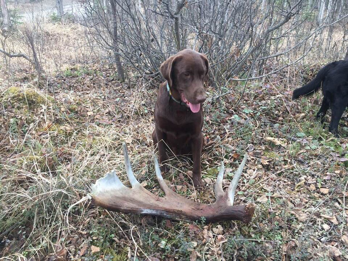 Monika Swan's Labrador retriever Bowie poses with a shed moose antler. (Monika Swan photo)