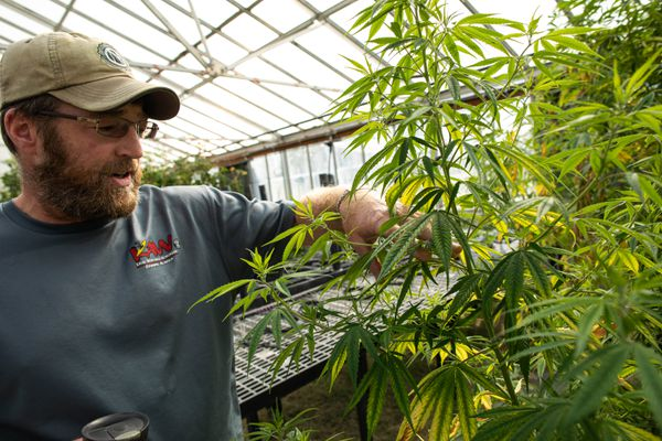 Agronomist Rusty Foreaker examines hemp plants at the Alaska Plant Materials Center on Thursday, Aug. 22, 2019 in Palmer. Foreaker had been working with the hemp when he was laid off when Gov. Mike Dunleavy vetoed money for the program, but he intends to come back now that the funding has been restored. The state culled nearly all of the hemp plants, leaving only 15 of the hardiest samples of each variety, which are now in poor health due to neglect during the time when no staff was available to tend to them. (Loren Holmes / ADN)