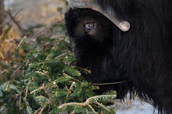 Little Rock, a musk ox, investigates a Christmas tree. Discarded Christmas trees become enrichment items for animals at the Alaska Zoo in Anchorage on January 21, 2021. (Marc Lester / ADN)