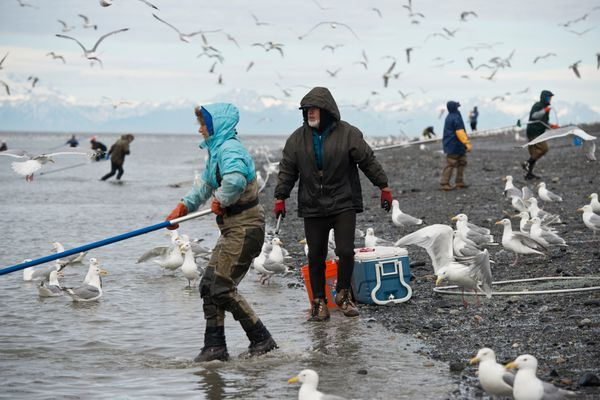 Hundreds of Alaskans lined the banks at the mouth of the Kenai River in Kenai for the sockeye salmon dipnet fishery on July 11, 2017. (Marc Lester / ADN)