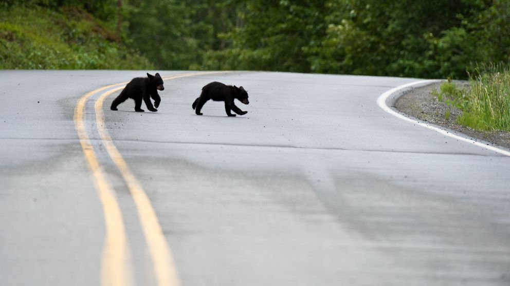 Black bear cubs dash across Arctic Valley Road. (Marc Lester / Alaska Dispatch News)