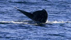 Northwest researchers monitor gray whale that might have been sickened by its tracking tag