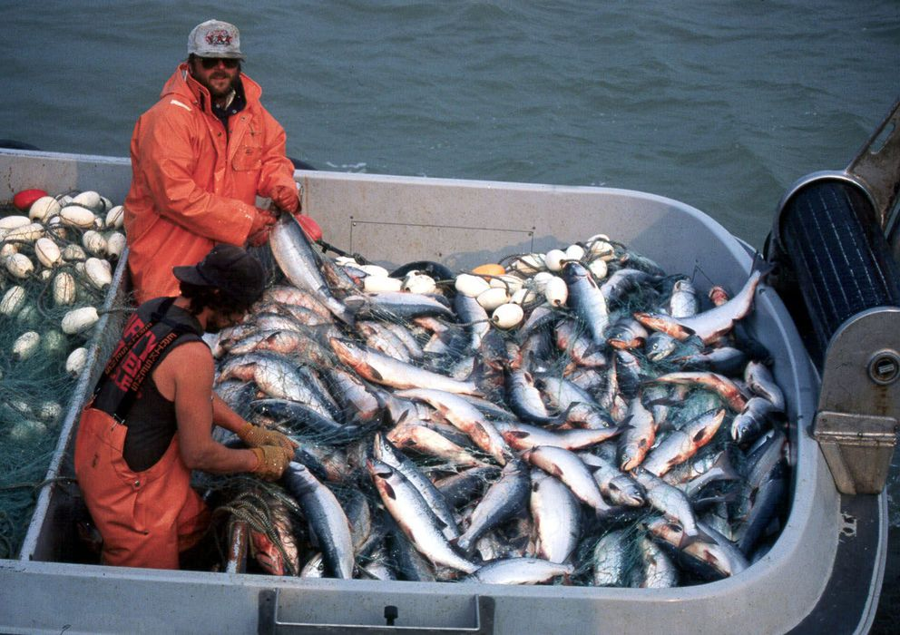 Two Bristol Bay fishermen pull sockeye or red salmon from a net near Naknek in this undated file photo. (AP/Al Grillo)