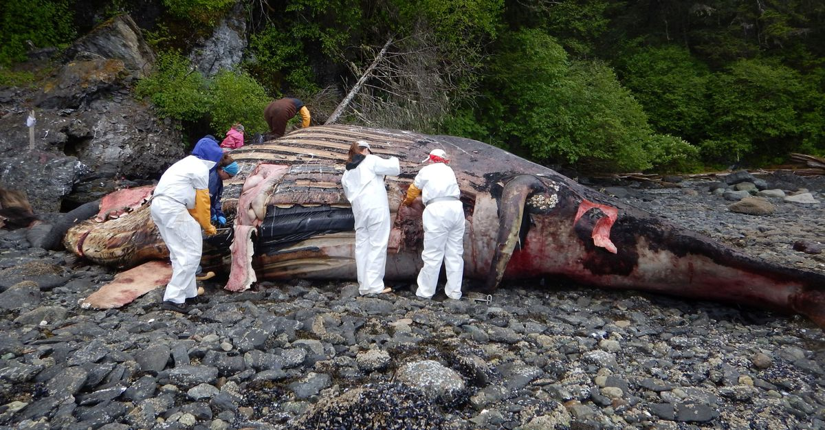 A NOAA Fisheries marine mammal team conducts a necropsy on a male humpback at Point Young, Admiralty Island in Southeast Alaska on Saturday, June 2, 2018. (Margaret Sherman / NOAA Fisheries)
