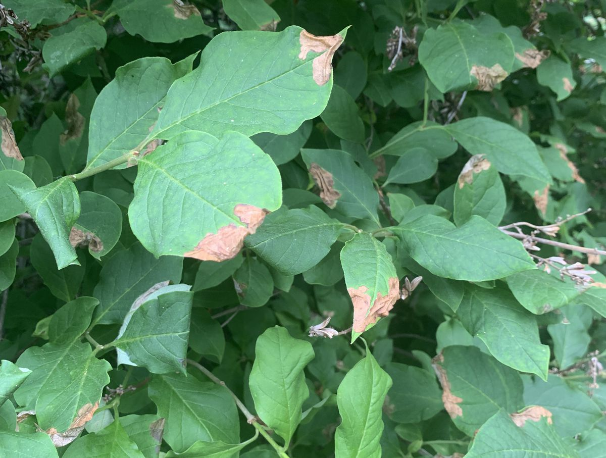Many lilac bushes in Southcentral Alaska are showing brown spots on their leaves this year. (Photo by Jeff Lowenfels)