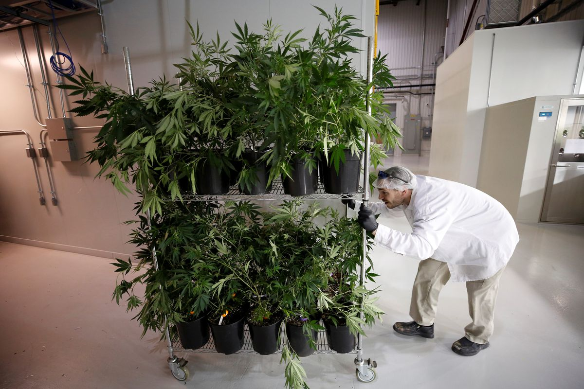 A worker pushes a cart of marijuana plants at the Canopy Growth Corp. in Smiths Falls, Ontario. REUTERS/Chris Wattie
