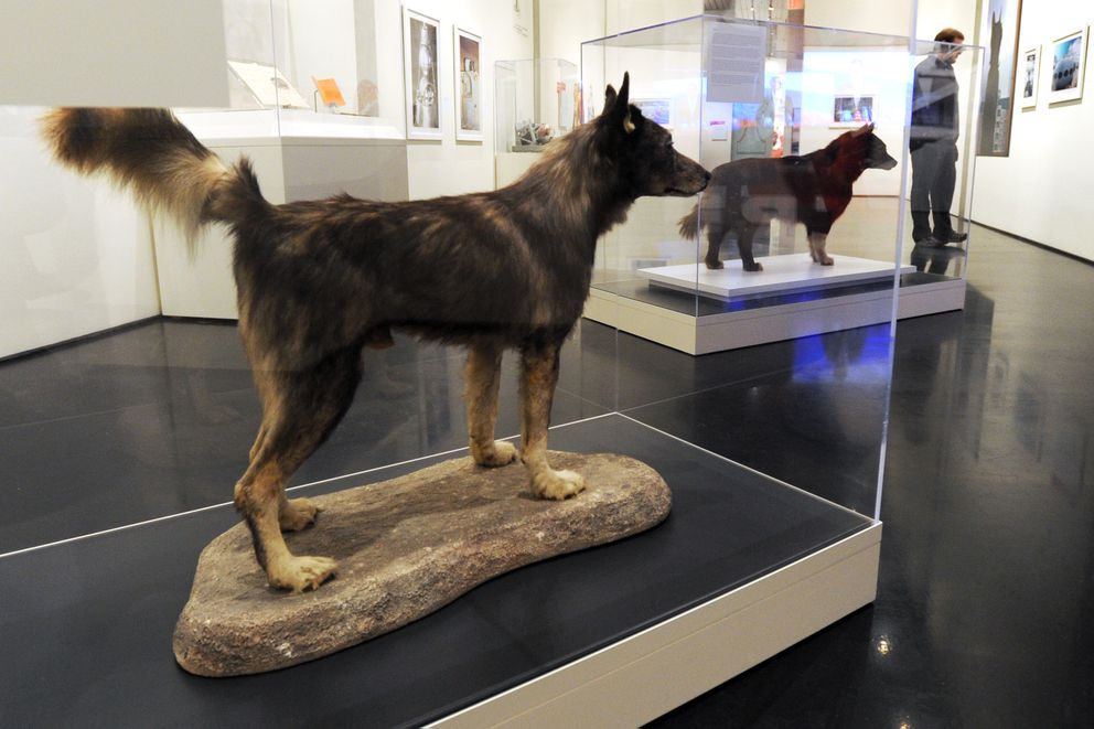 Famous 1925 Serum Run dogs Togo, left, and Balto are displayed in the exhibit Polar Bear Garden: The Place Between Alaska and Russia on Friday, March 10, 2017, at the Anchorage Museum at Rasmuson Center. (Erik Hill / ADN)
