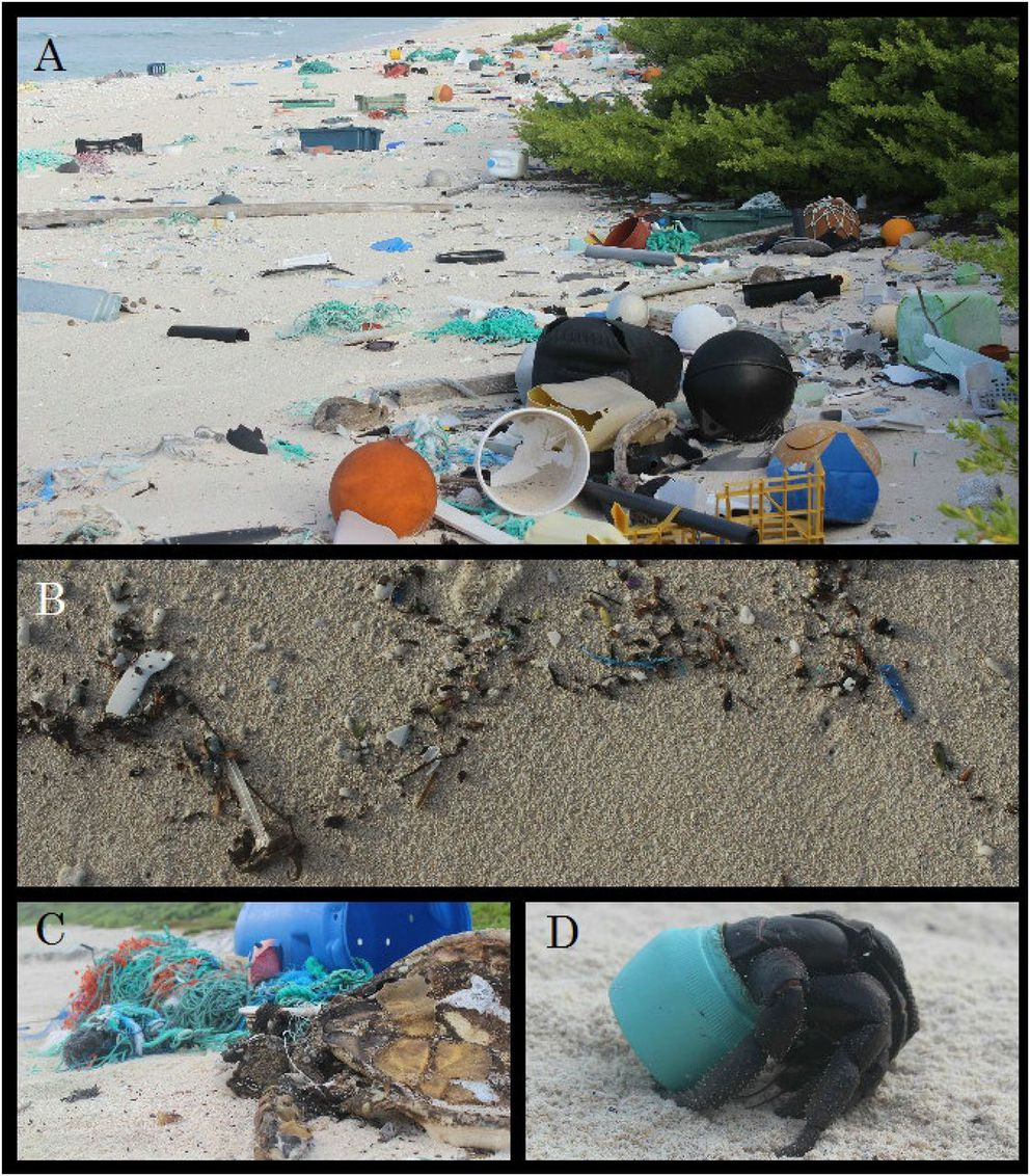 (A) Plastic debris on East Beach of Henderson Island. Much of this debris originated from fishing-related activities or land-based sources in China, Japan, and Chile (Table S5). (B) Plastic items recorded in a daily accumulation transect along the high tide line of North Beach. (C) Adult female green turtle (Chelonia mydas) entangled in fishing line on North Beach. (D) One of many hundreds of purple hermit crabs (Coenobita spinosa) that make their homes in plastic containers washed up on North Beach. (Proceedings of the National Academy of Sciences)