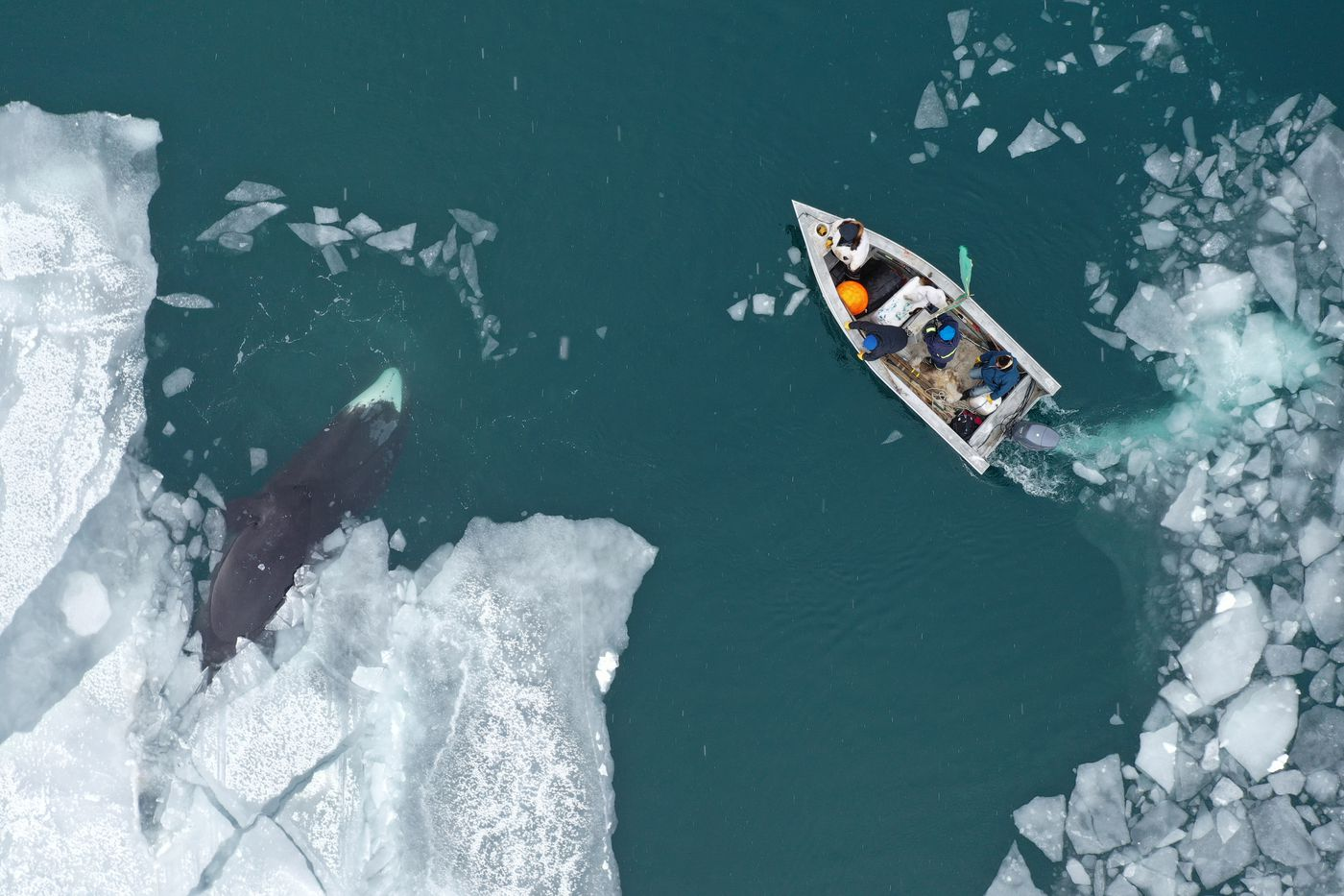 Anagi Crew hunts a 30-foot male bowhead whale on the Bering Sea in an aluminum boat, though typically spring whalers use umiaqs, the small sealskin boats that are prized for their light weight, stealthy movement and respect for tradition. (Photo by Yves Brower)