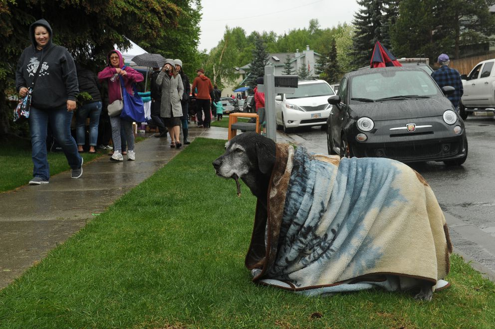 Loyal dog, Hiland Road, waited for his owner, Bobbie Jean Molle, as she shopped at the Kempton Hills garage sale Saturday. Molle brought the blanket to keep the rain off her old dog, and to dissuade people from throwing sticks for him, which happened last year, she said. (Bob Hallinen / Alaska Dispatch News)