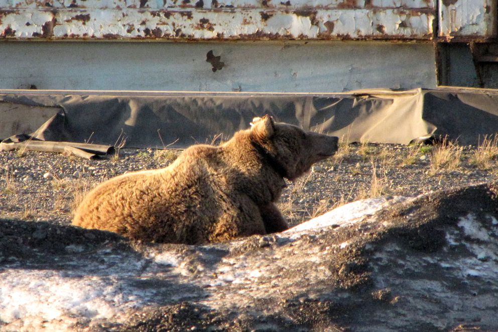 The 10-year-old female grizzly bear killed by the Alaska Department of Fish and Game Thursday is seen roaming Deadhorse in June. (Dick Shideler / Alaska Department of Fish and Game)
