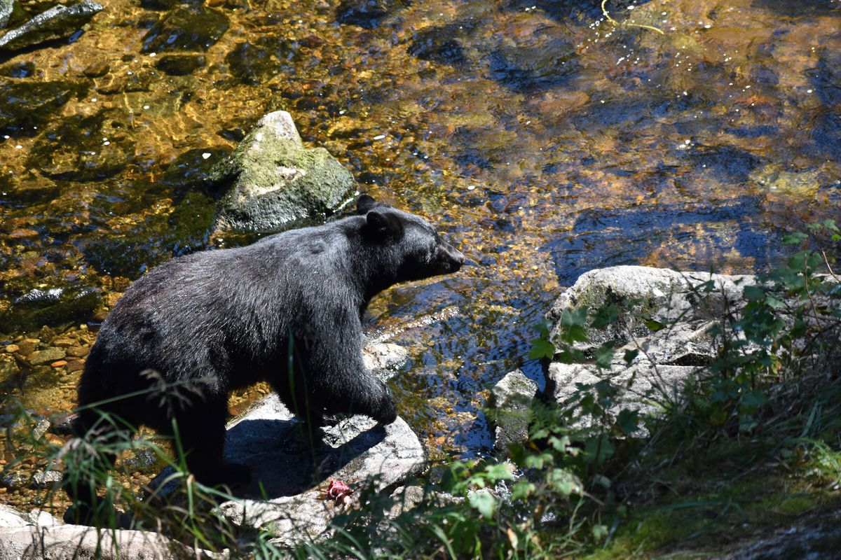 A black bear fishes at the Anan Creek Wildlife Observatory. (Lisa Maloney)