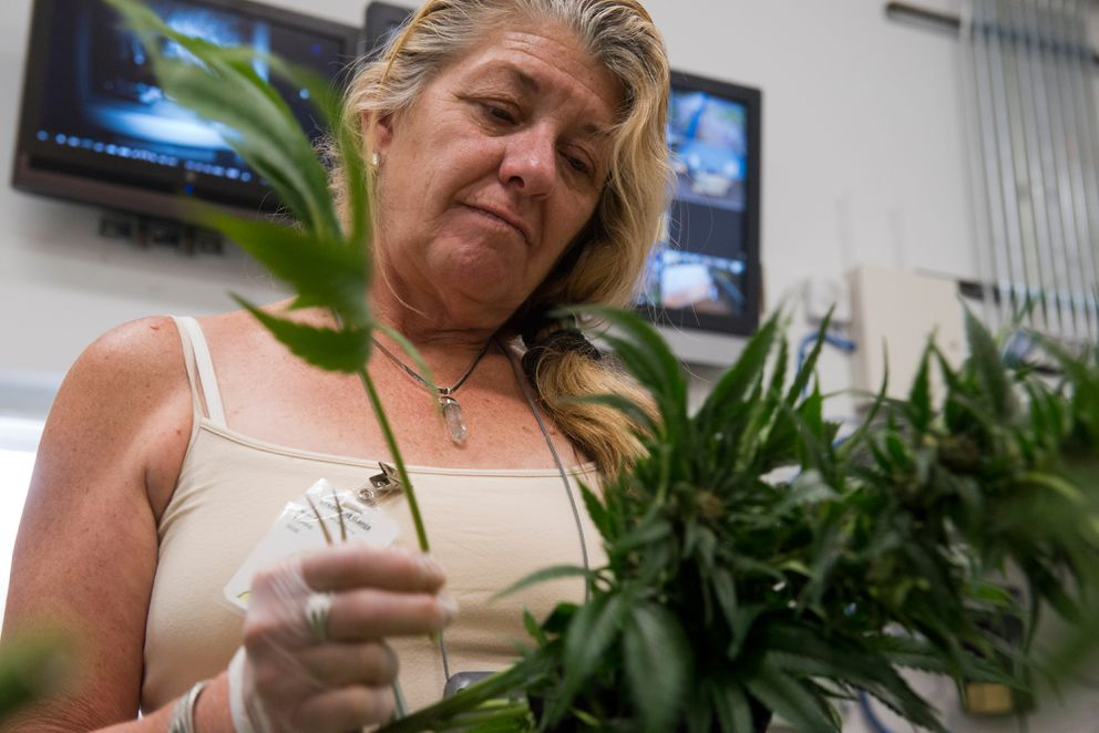 Greatland Ganja employee Jamie Harris pulls leaves from marijuana plants. September 21, 2016.  (Marc Lester / Alaska Dispatch News)