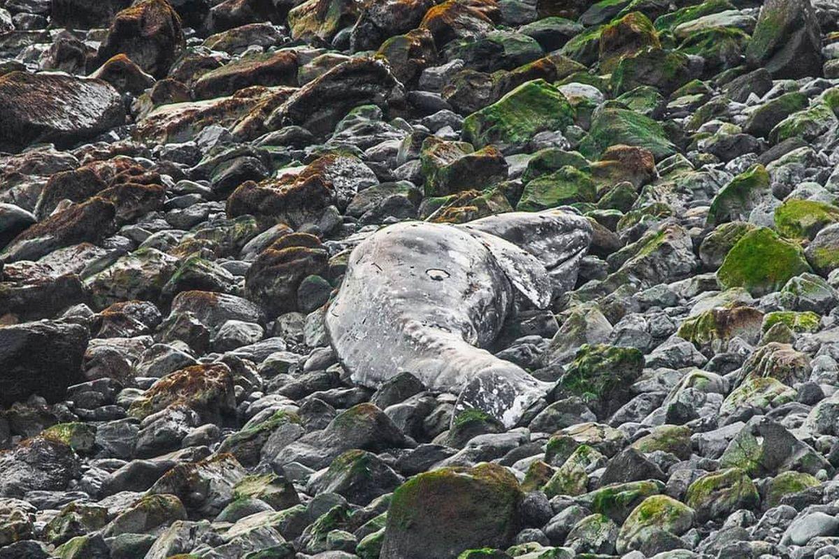 Dead gray whale on Kodiak Island, May 21, 2019. (Photo courtesy Kris Luckenbach)