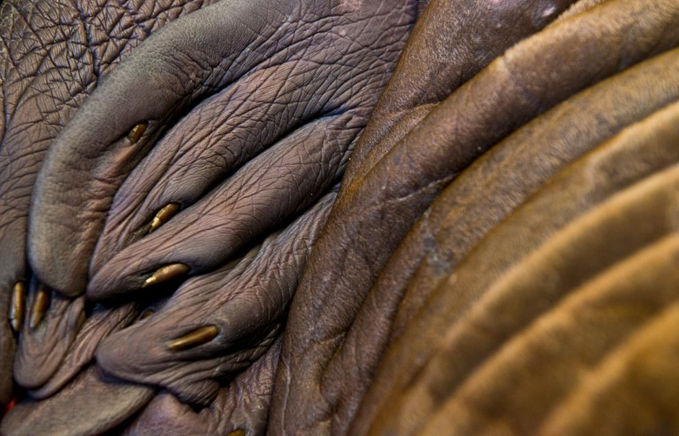 The folds of the orphaned walrus calf's flippers and body, photographed on June 30 (Marc Lester / Alaska Dispatch News)