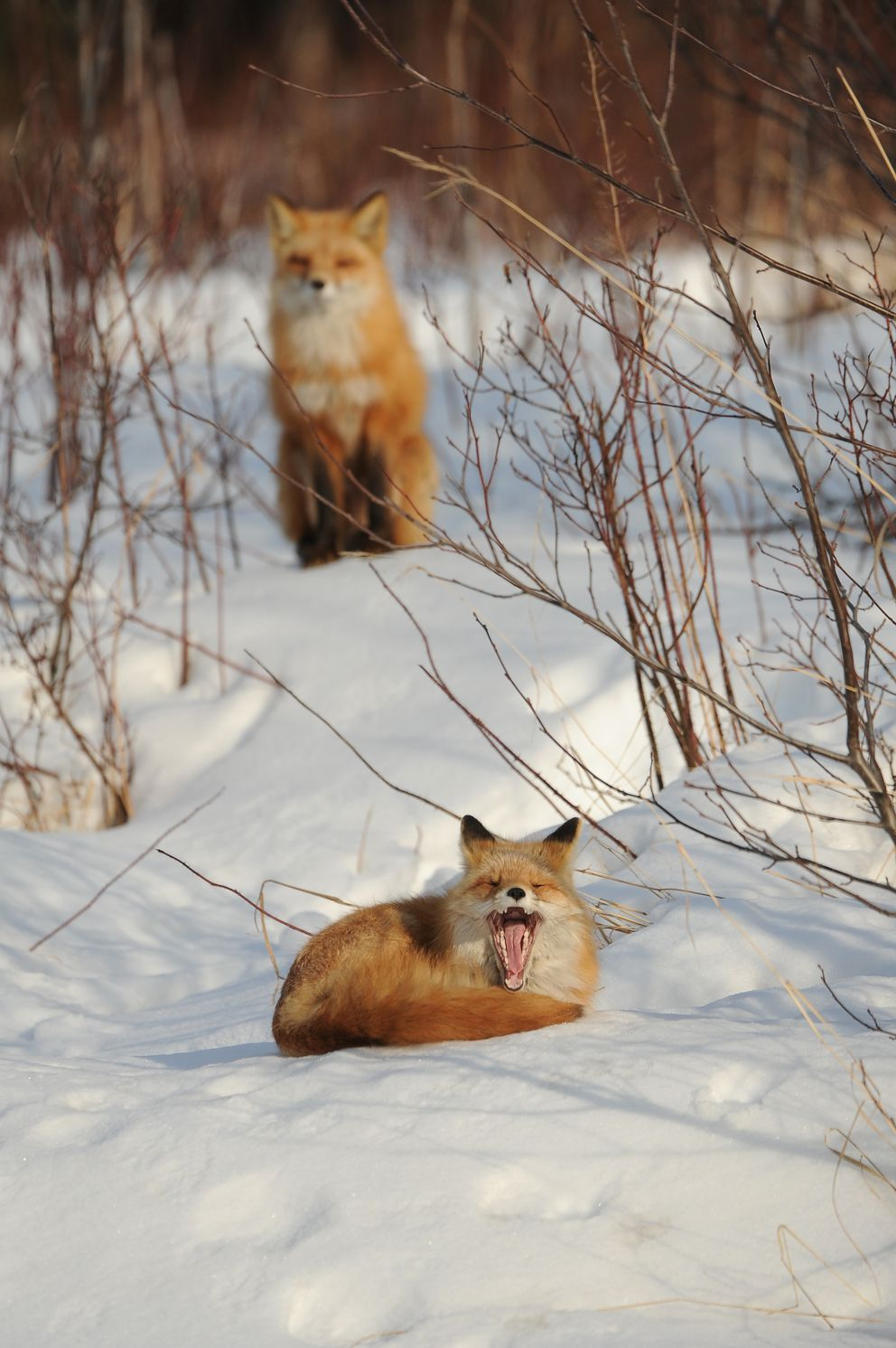 The foxes rest. (Bob Hallinen / ADN)