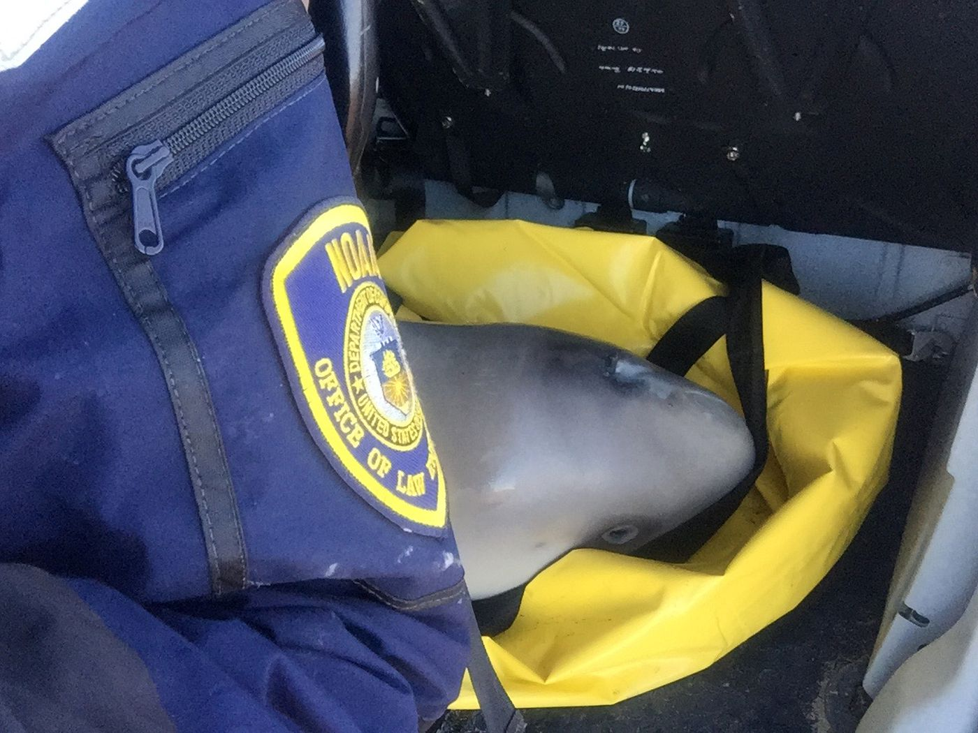 A Cook Inlet beluga calf awaits transport inside and Alaska Department of Public safety helicopter on Sept. 30. Rescuers used a body bag as a makeshift sling to move the animal. Activities pictured authorized by MMHSRP's MMPA/ESA #18786-01. (Photo by Noah Meisenheimer)