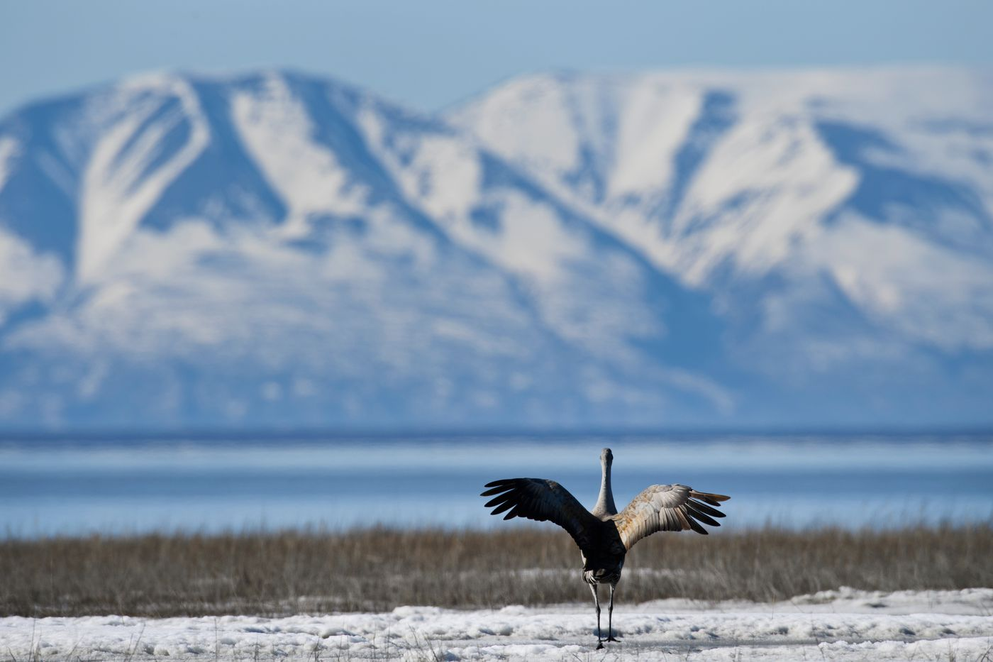 Sandhill cranes walk on the mud and ice of the Anchorage Coastal Wildlife Refuge on April 20, 2021. (Marc Lester / ADN)