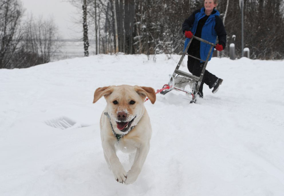 Ketch Fischbach, 11, steers a kick sled as a neighbor's dog Harper pulls him through the fresh snow in Turnagain Heights subdivision on Christmas Day, Dec. 25, 2019. (Bill Roth / ADN)