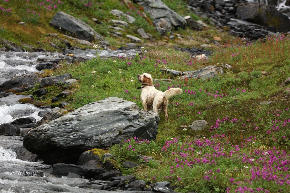 Hugo scouts in the Kenai mountains for birds in the preseason. (Photo by Steve Meyer)