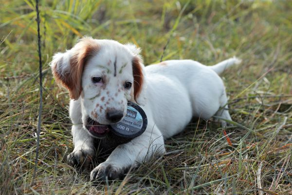 Boss, an English setter pup, plays during a trip to Redoubt Bay Flats in 2014. He made the trip as an