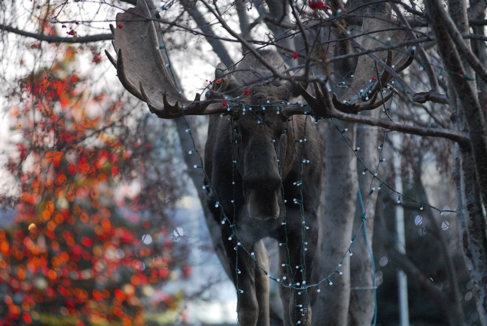 A bull moose finds itself entangled in holiday lights Tuesday November 27, 2007 in Anchorage Town Square Park. An onlooker loosened strands encircling a nearby tree, and the moose eventually made a determined tug, broke free and wandered away down 6th Avenue eastbound, trailing lights, before turning south and winding up on 7th Avenue in the yard at Bernie's Bungalow. (Erik Hill / Alaska Dispatch News)