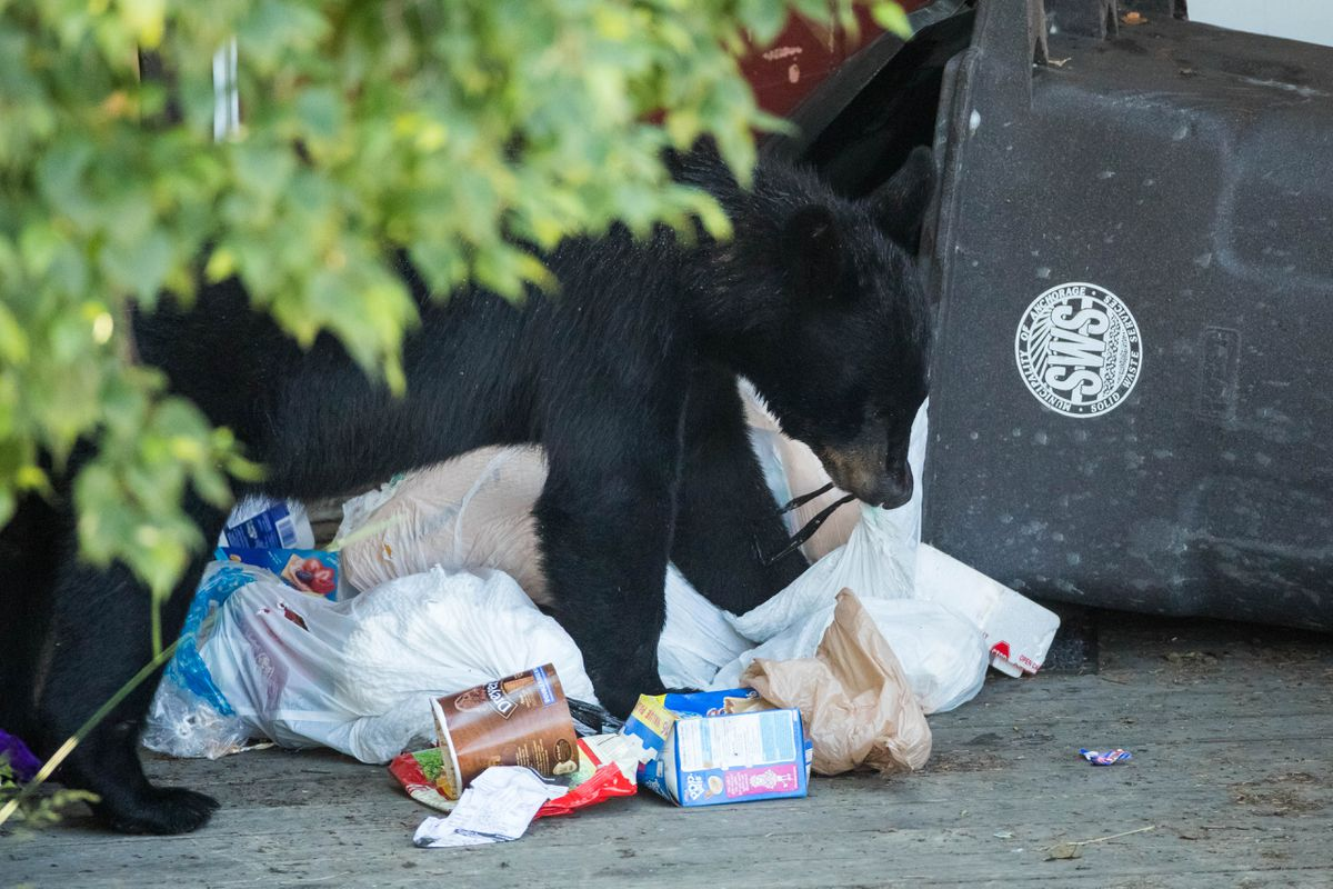 A young black bear pulls out trash from a trash can in Anchorage's Fairview neighborhood on July 12, 2017. (Loren Holmes / ADN)