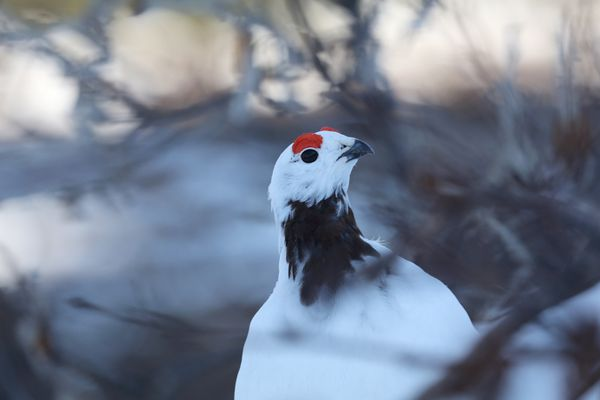 The plumage of a male willow ptarmigan is beginning to change with the season. (Photo by Steve Meyer)