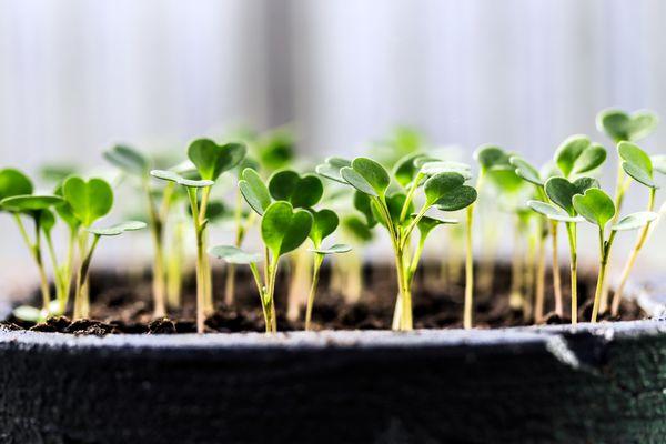 Arugula seedlings. (Getty)