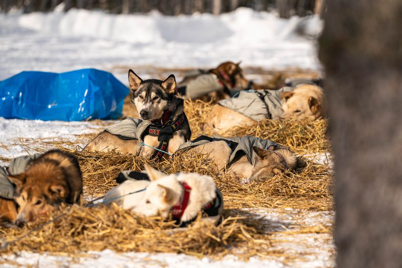 Dogs in Aliy Zirkle's team rest in Ophir on Wednesday, March 11, 2020 during the Iditarod Trail Sled Dog Race. (Loren Holmes / ADN)