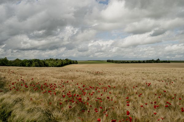 Poppies bloom amid wheat fields that were once the front line during World War I in Marne, France, June 4, 2014. The killing fields are now pastoral and immaculate, and to stand on a hilltop is to see a horizon stretching for miles, the archetype of the idyllic French countryside. It is hard to imagine that nearly 300,000 men died or were wounded here almost a century ago. (Tomas Munita/The New York Times)