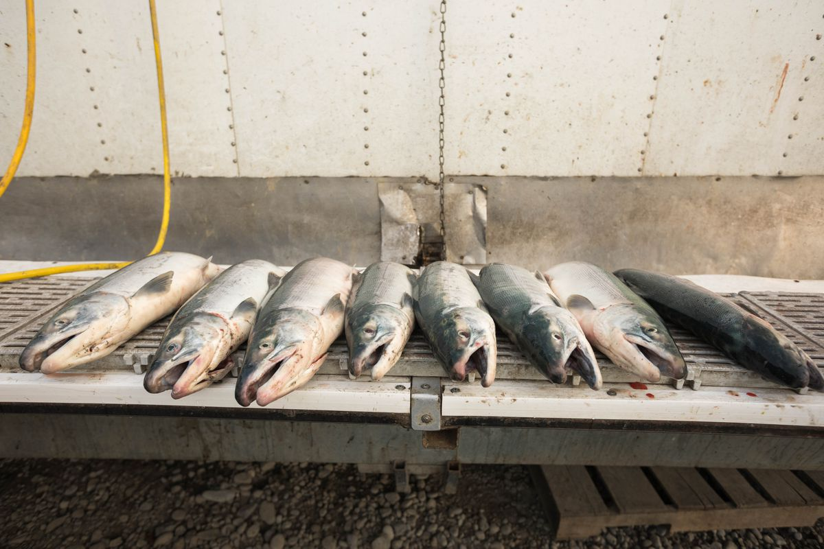 Red salmon are laid out before being filleted last summer at O'Brien Creek near Chitina. (Loren Holmes / ADN archives)