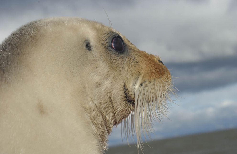 An undated file photo from the National Oceanic and Atmospheric Administration shows a bearded seal. The seals were listed as endangered in 2012, a listing that has been the subject of court battles ever since. (NOAA)
