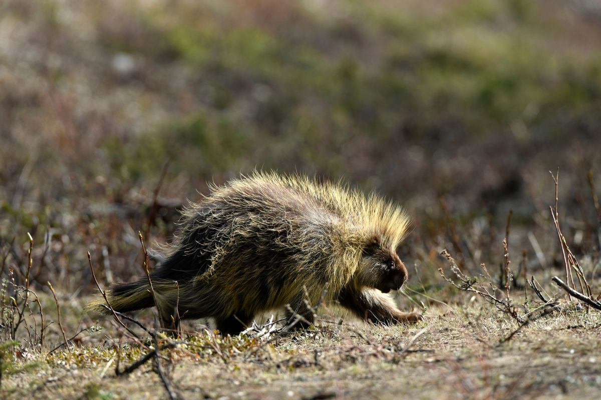A porcupine walks along the side of the Richardson Highway south of Delta Junction last May. (Marc Lester / ADN)