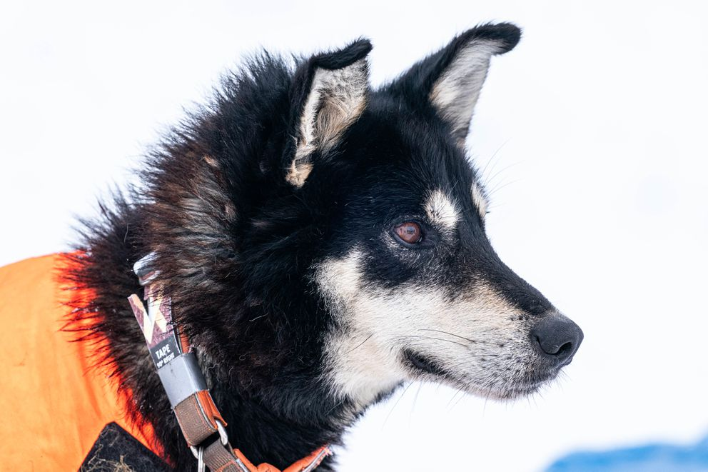 Bark watches as Thomas Waerner feeds his team in Unalakleet during the 2020 Iditarod. (Loren Holmes / ADN)