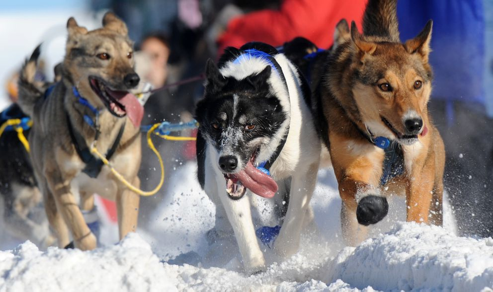 Wade Marrs' dogs plow across 15th Avenue during the 2017 Iditarod Trail Sled Dog Race ceremonial start in Anchorage. (Erik Hill / Alaska Dispatch News)