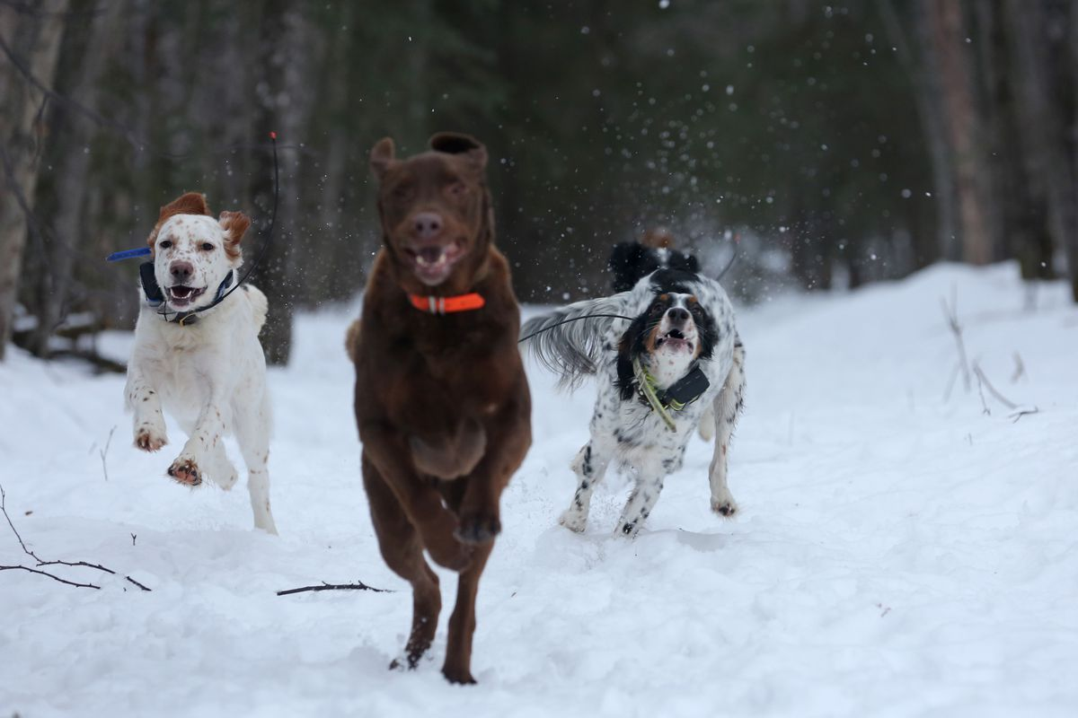 Boss (an English setter), Jack (when the chocolate Lab takes the lead, he keeps it), and Purdey (also an English setter) racing home from a walk. (Steve Meyer)