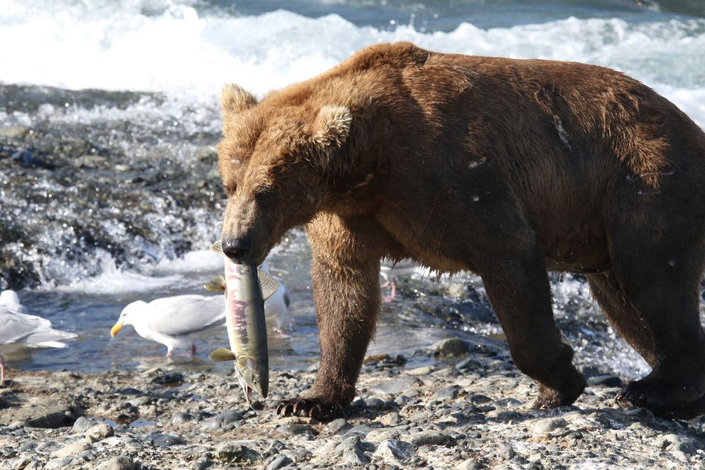 A McNeil River bear catches a meal in 2016. (Courtesy Alaska Department of Fish and Game)