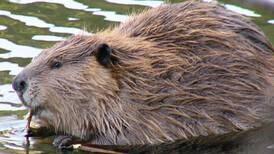 The beaver isn't always to blame for 'beaver fever'